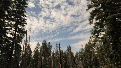 Scenic pine forest cloud timelapse Footage