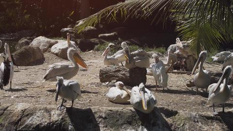 Pod of Pelicans Footage