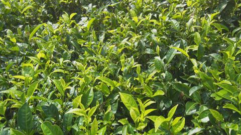 Tea Bushes Fluttering in a Gentle Breeze in Sri Lanka Footage