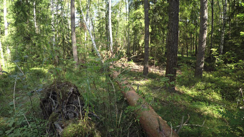 Mixed forest. Fallen Tree Live Action