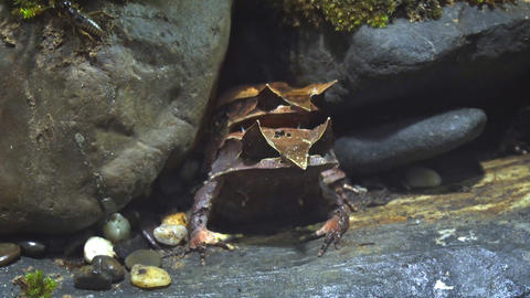 Long Nosed Horned Frogs Hiding amongst Rocks. Video Footage
