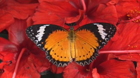 Leopard Lacewing Butterfly amongst Flowers. Video Footage