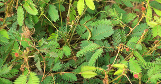 Timelapse of Mimosa Pudica Opening Up in Closeup. 4k DCI footage Footage
