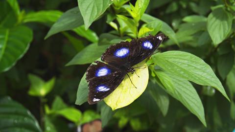 Black Butterfly with White Spots. UltraHD 4k video Footage