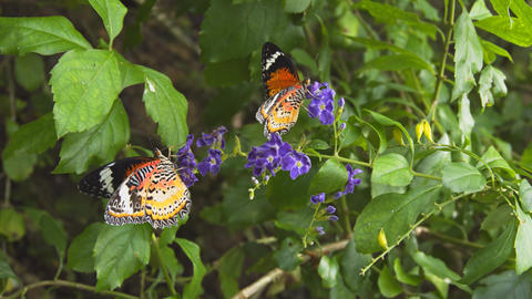 Leopard Lacewing Butterflies Feeding on a Flower Footage