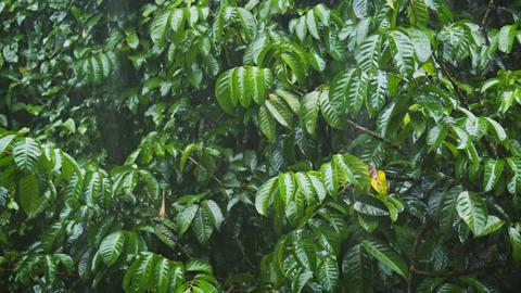 Heavy Monsoon Rains on Tropical Foliage. UltraHD 4k video Footage