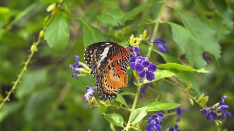 Lone Leopard Lacewing Butterfly on Purple Flowers. 4k footage 2160p Footage