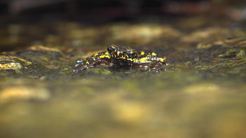 Tropical Frog in Shifting Selective Focus. with Sound. 4k footage 2160p Footage