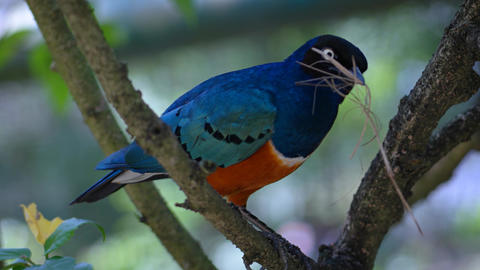 Brightly Colored Superb Starling in its Natural Habitat Archivo