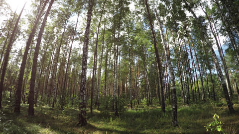 Vertical panorama of the summer mixed forest with birch and pine trees Footage