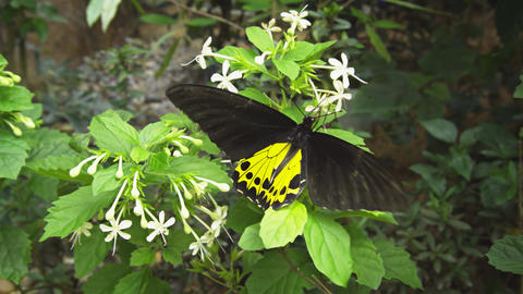 Common Birdwing Butterfly Feeding on Small White Flowers Footage