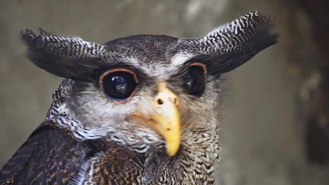 Close up portrait of Barred eagle-owl (Bubo sumatranus or Malay eagle-owl) Live Action