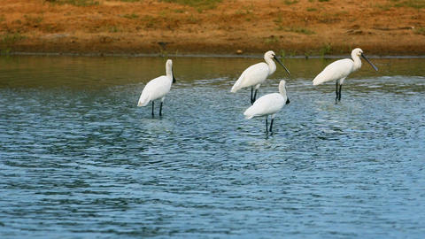 Spoonbills group feed by wading through shallow water. Sri Lanka. Yala Footage