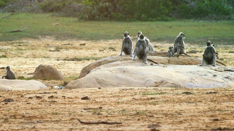 Gray langurs or Hanuman langurs group. Sri Lanka. Yala Footage