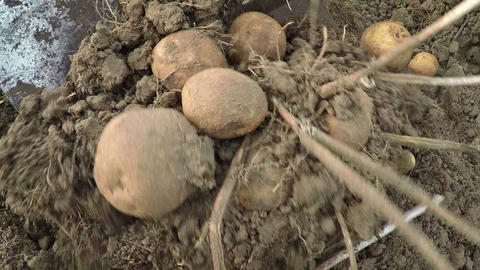 Gardener gathers potatoes manually. FullHD video Footage