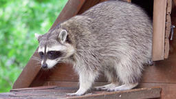 Two cute furry raccoons playing together in wooden house. Funny adorable little Footage