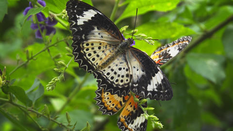 Two Leopard Lacewing Butterflies Feeding on a Flower Footage