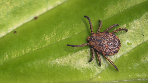Adult tick on the green leaf of the plant. Tropical forest of Thailand Footage