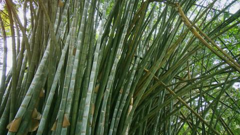 Thickets of green bamboo at Royal Botanic Gardens. Sri Lanka Footage