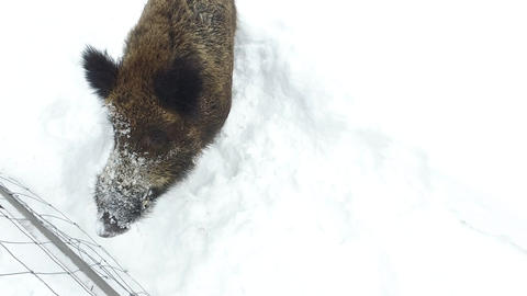 Wild boars on the snow in winter begging food Footage