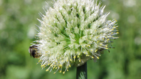 Bee and flowers Stock Video Footage