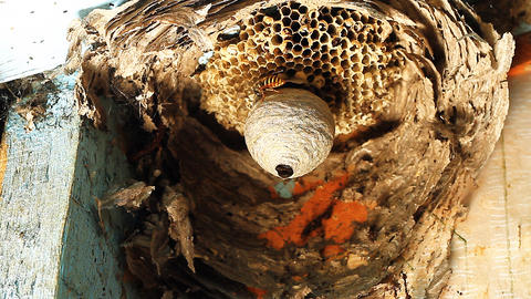 Wasp in Nest Stock Video Footage