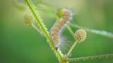 Butterfly Caterpillar Footage