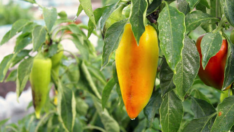 Fresh organic sweet pepper in a garden Stock Video Footage