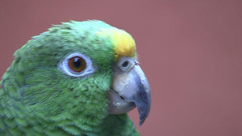 Parrot red background 03 Stock Video Footage