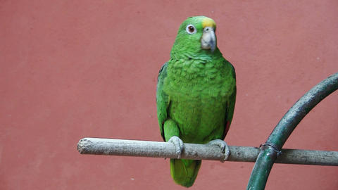 Parrot red background 01 Stock Video Footage
