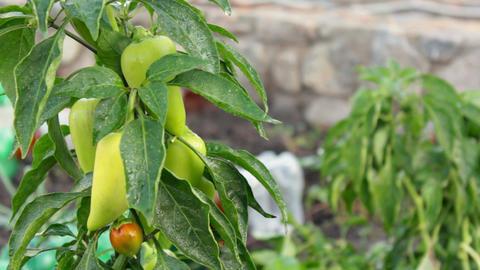Fresh organic sweet pepper in a garden Stock Video Footage