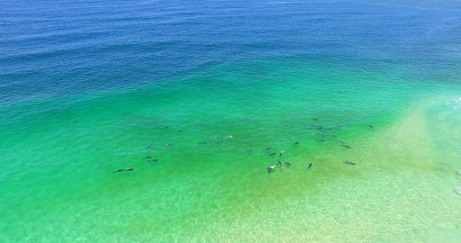 A pod of dolphins playing in the surf riding waves Footage
