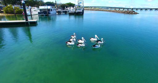 Pelicans in the clear water with fish around Footage