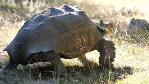 Motion of African spurred tortoise moving on grass with 4k resolution Footage