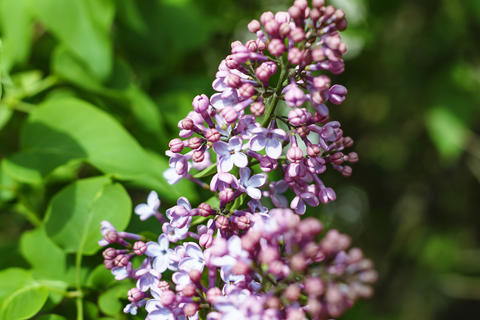 Spring time. Lilac blossom flowers. Spring time beautiful photography.Blooming Photo