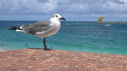 Bahamas seagull sits and shits on a wall at Cabbage Beach on Paradise Island Image