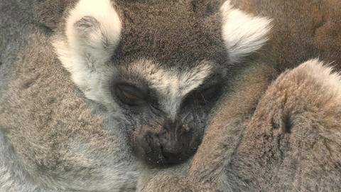 Ring-tailed lemur or lemur, or Katta (LAT. Lemur catta) Image