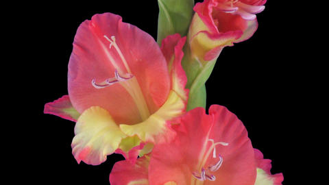 Time-lapse of opening hybrid gladiolus flower in RGB + ALPHA matte format Footage