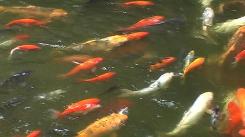 koi carp in pond Live Action