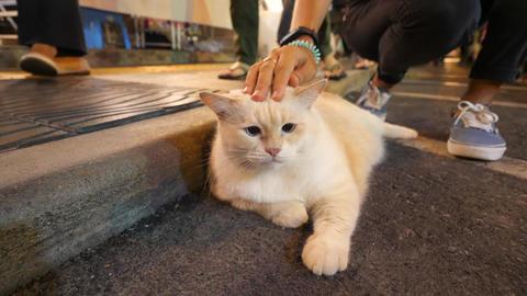 Young Woman Stroking Huge Fat Fluffy Japanese Kawaii Cat at Night Market Street Archivo