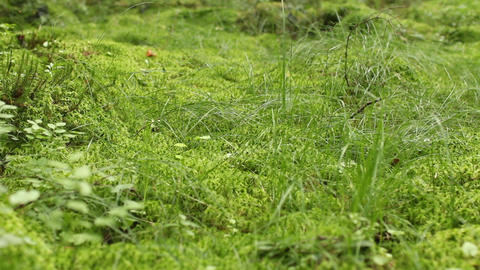 Green moss of sphagnum covers a marsh Footage
