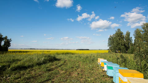 Timelapse of apiary and flying bees on blossom yellow field Footage