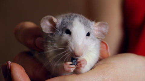 Hand-held rat sits on his hands and eats Footage
