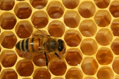 closeup of bees on honeycomb in apiary Fotografía