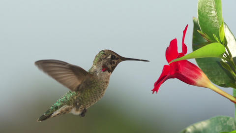 Hummingbird Feeding Slow Motion Image