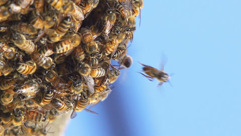 Bees Hive Slow Motion Footage