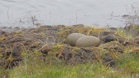 Red-throated divers nest, Arctic 2 Live Action