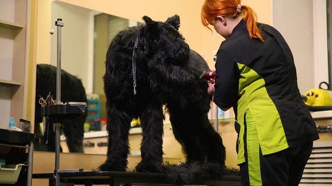 A professional groomer in my shop cuts a large black Terrier with clippers hair Footage