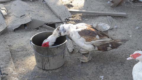 Muscovy duck drinking water ビデオ