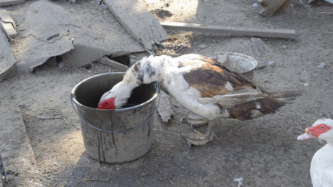 Muscovy duck drinking water Archivo